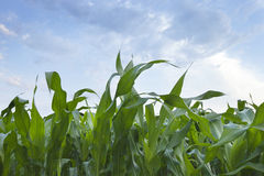 Close up of young corn plants with sky and clouds. Low angle close up view of young corn plants with sky and clouds stock photography