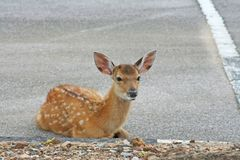 Young dear sitting on the street. Close up Young dear sitting on the street royalty free stock photos