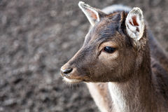 Close up of a young deer Royalty Free Stock Photo