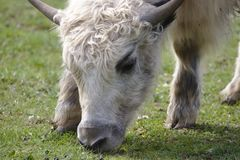 Close up of a young domestic yak grazing royalty free stock image