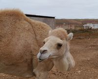 Close up of a young dromedary or Arabian camel Royalty Free Stock Photography