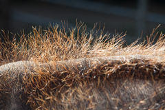 Close up of Young Elephant's Hair on its Back Stock Image