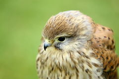 Close up of young European Kestrel Royalty Free Stock Image
