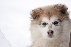 Close Up of Young Fluffy Dog Outside in Snow. Close Up Portrait of Young Fluffy Dog Looking at Camera Outside in Snow Royalty Free Stock Photos