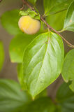 Close up of young fruit and leaf of persimmon, kaki Stock Photo