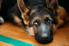 Close Up Young German shepherd Puppy Dog Stock Photo