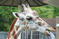 Young giraffe head background royalty free stock photos