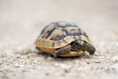 Close up of a young Greek turtle in its natural environment. Macro, selective focus, space for text royalty free stock images