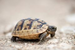 Close up of a young Greek turtle in its natural environment. Macro, selective focus, space for text stock photography