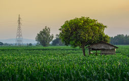 Young green corn field and farmer hut in agricultural garden Royalty Free Stock Images