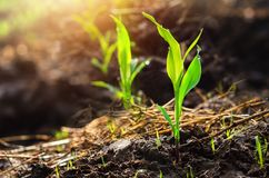 Close up young green corn seedling grows with sunshine  in culti. Vate agricultural farm field Royalty Free Stock Photos