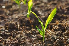 Close up young green corn seedling grows with sunshine  in culti. Vate agricultural farm field Stock Photo