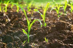 Close up young green corn seedling grows with sunshine  in culti. Vate agricultural farm field Royalty Free Stock Photography