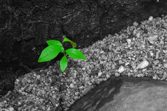 Close up young green leaves on black and white background. It is growing through brown ground. Royalty Free Stock Photography