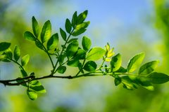 Close-up young green leaves of Zanthoxylum americanum, Prickly ash on natural spring green bokeh background. Selective focus. Nature concept for design royalty free stock image