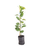 Close up young green lemon tree in plastic bag isolated on white Stock Photography