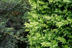 Close-up of young green spring foliage of boxwood Buxus sempervirens with raindrops on blurred blue evergreens,