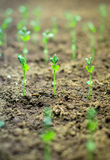 Close-up of young green sprouts. royalty free stock photography