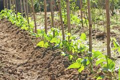 Young green yardlong bean tree royalty free stock photos