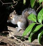 Close up of a young Grey Squirrel Stock Photos