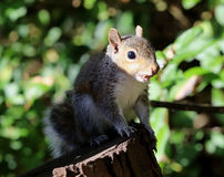 Close up of a young Grey Squirrel Royalty Free Stock Photo