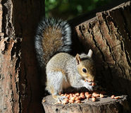 Close up of a young Grey Squirrel Stock Image