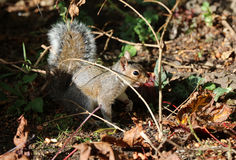 Close up of a young Grey Squirrel Stock Photography