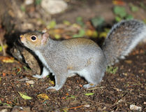 Close up of a young Grey Squirrel Royalty Free Stock Images