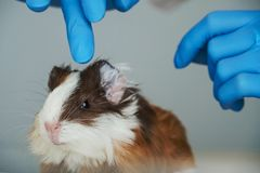 Close up of a young Guinea Pig on the examination table at the veterinary clinic stock photos