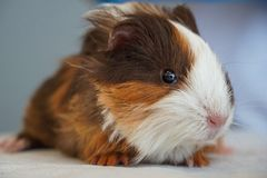 Close up of a young Guinea Pig looking at the camera royalty free stock image