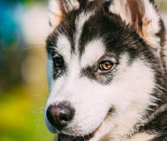 Close Up Young Happy Husky Puppy Eskimo Dog Stock Photography