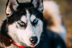 Close Up Young Happy Husky Puppy Eskimo Dog Royalty Free Stock Photo