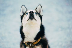 Close Up Young Happy Husky Puppy Eskimo Dog Royalty Free Stock Photography