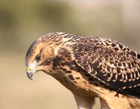 Close up of a young hawk Stock Photo