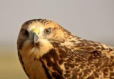 Close up of a young hawk Stock Photos