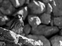 Hawk in his habitat natural in Ibiza. Close-up young Hawk in his habitat natural black and white stock image