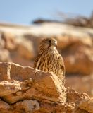 Close-up young hawk in his habitat natural. In Ibiza stock image