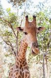 Close up young  head face of Giraffe Giraffa camelopardalis. In nature Royalty Free Stock Image