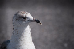 Close up of young herring gull. A close head and neck photograph of a young herring gull Stock Photos