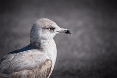 Close up of young herring gull. A close head and neck photograph of a young herring gull Royalty Free Stock Photo