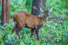 Close up of young Hog deer Royalty Free Stock Images