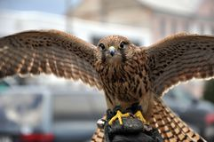 Young falcon with open wings stock photo
