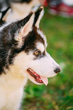 Close Up Young Husky Puppy Eskimo Dog Stock Images
