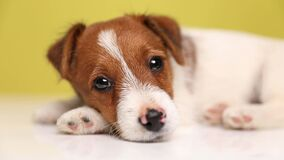 cute jack russel puppy dog on yellow background