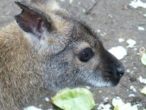 Close up of young kangaroo Stock Photo