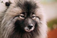 Close Up Of Young Keeshond, Keeshonden Dog Royalty Free Stock Photos