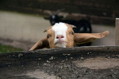 Close up, Young Kinder Goat Portrait Royalty Free Stock Image