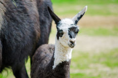 Close up young lama Stock Photography