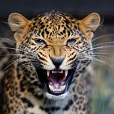 Leopard portrait in nature royalty free stock images