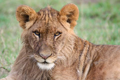 Close-up of a young lion. Portrait of a young lion Panthera leo making eye contact. Ol Pejeta Conservancy, Kenya Stock Photo